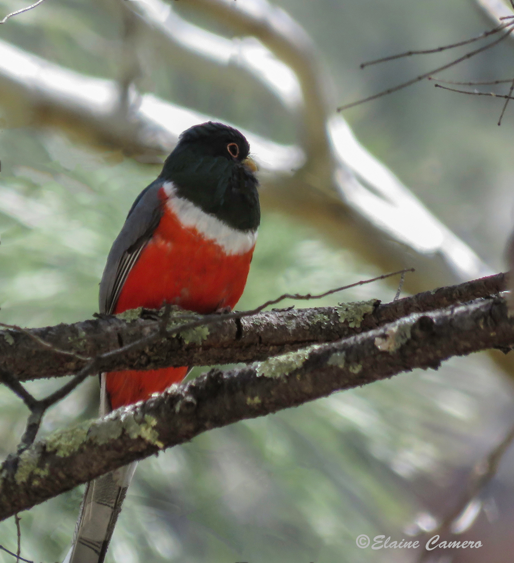 A male Elegant Trogon
