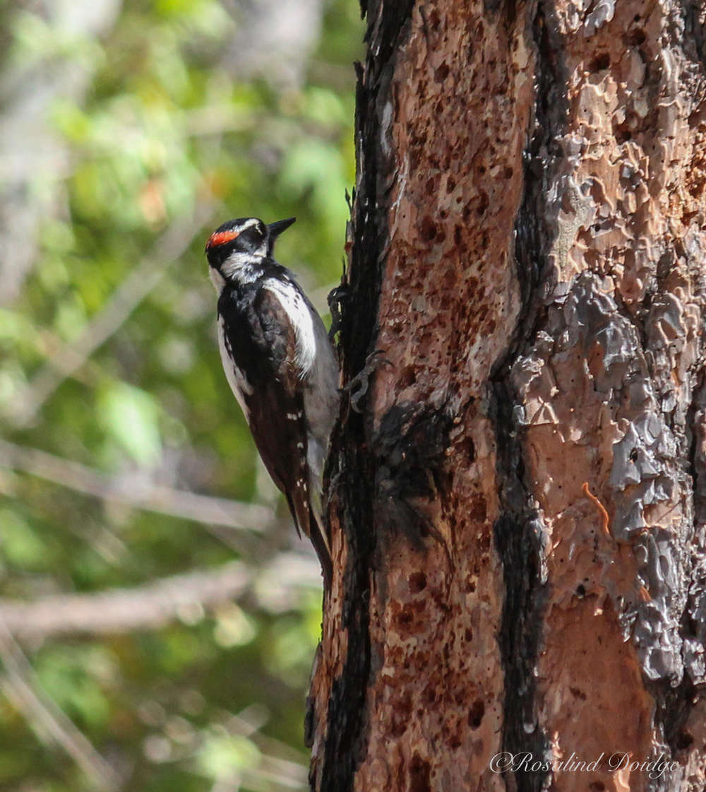 A male Hairy Woodpecker.