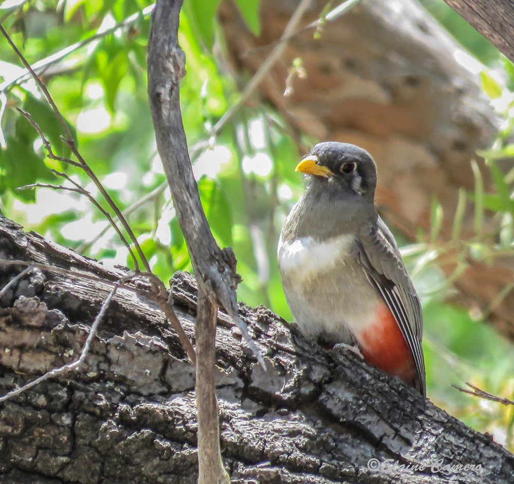 Female Elegant Trogon