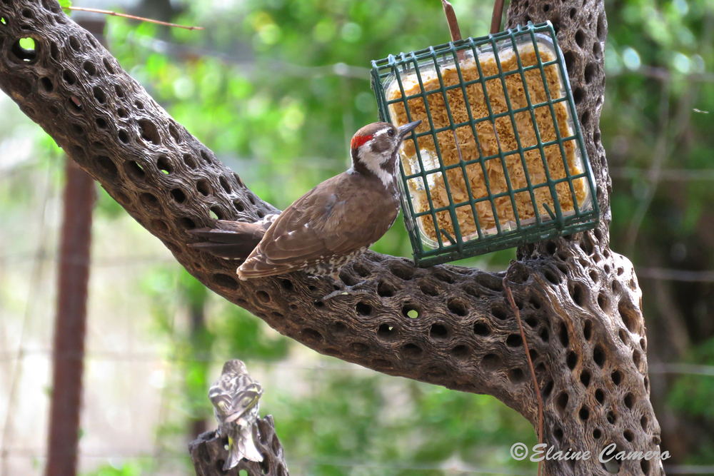 The Arizona Woodpecker.