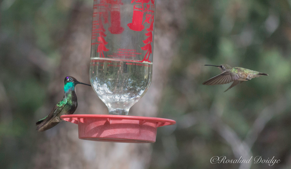 The hummer on the left is a Magnificent Hummingbird.  The one on the right is unidentified.