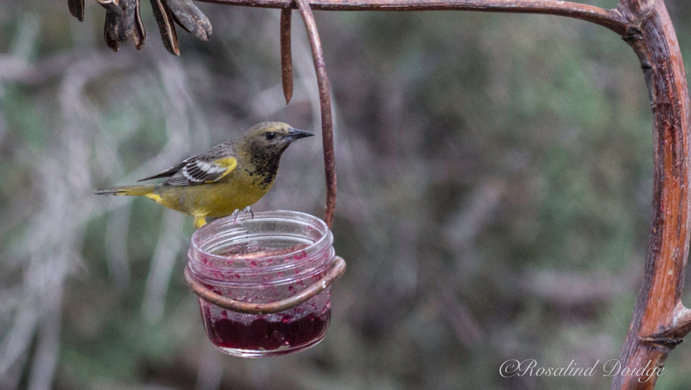 This is a female Scott's Oriole.