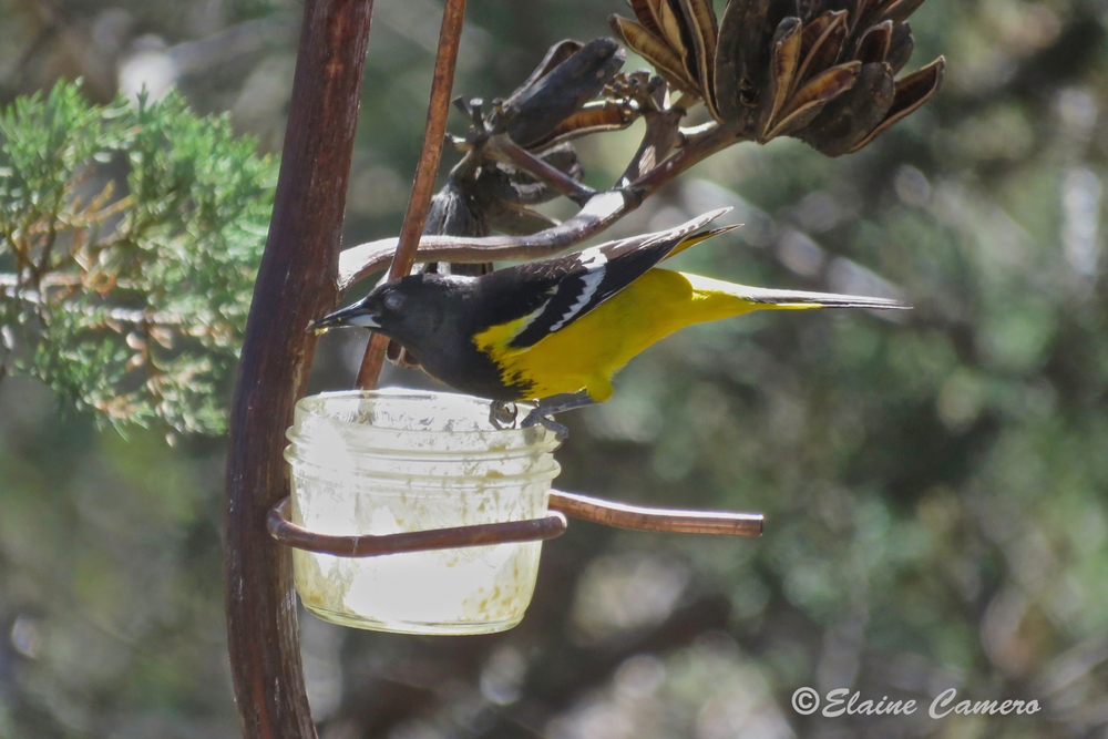 This is a male Scott's Oriole.