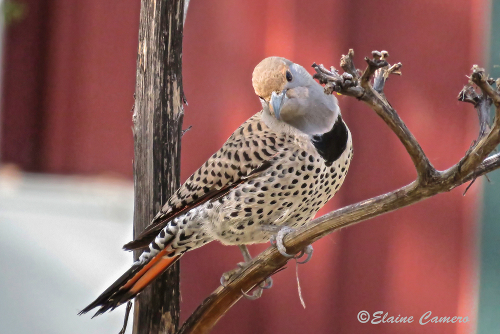 This is a Gilded Flicker.