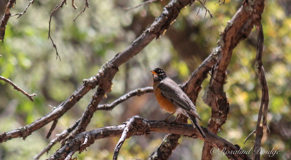 This is an American Robin.