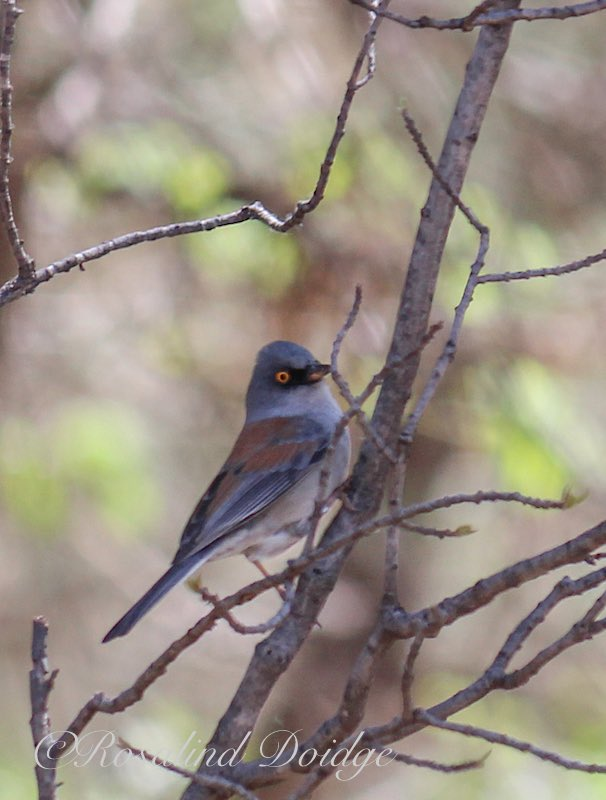 A Yellow-Eye Junco.