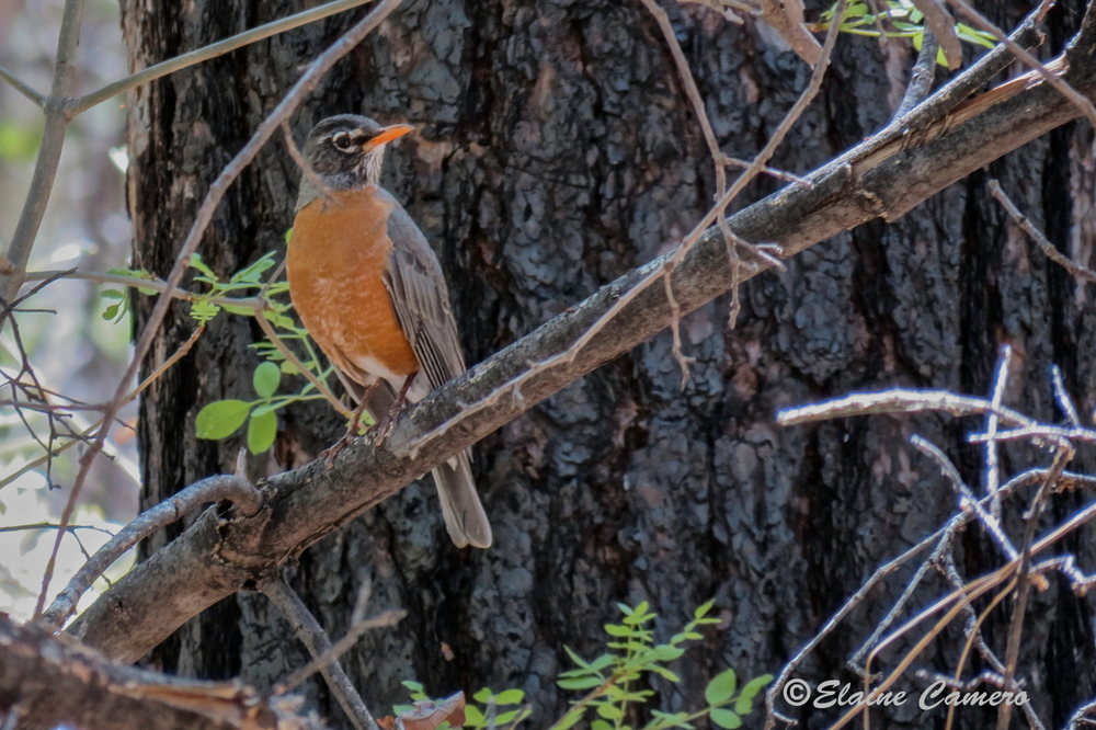 Another American Robin.