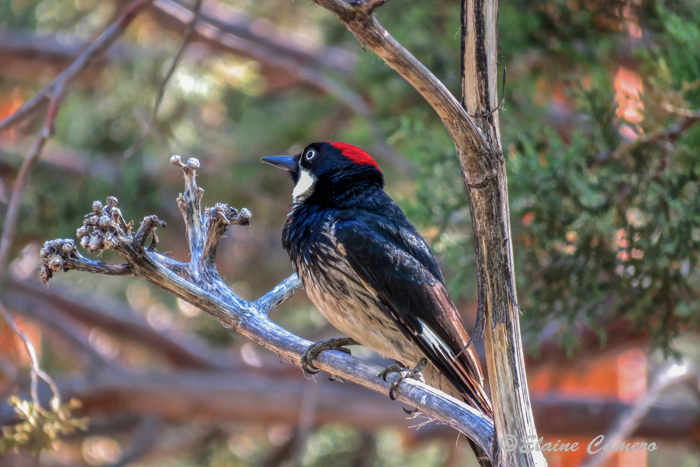This is an Acorn Woodpecker.