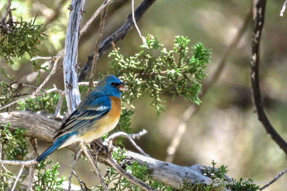 This is a Lazuli Bunting.