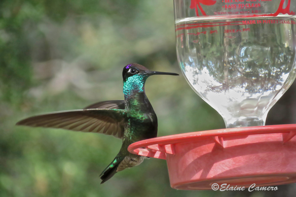 A Magnificent Hummingbird.