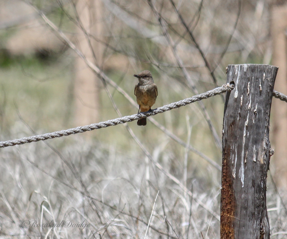 This is a Say's Phoebe.  There are birds everywhere!  Having your camera ready is a must.