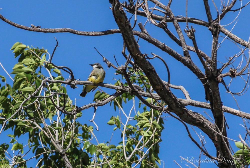 A Western Kingbird.