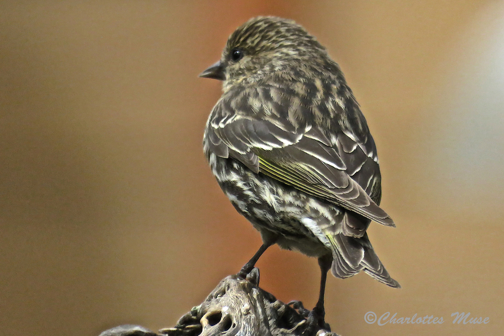 This is a Pine Siskin.