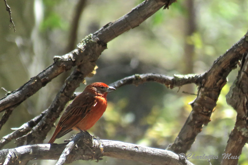 This is an Hepatic Tanager.