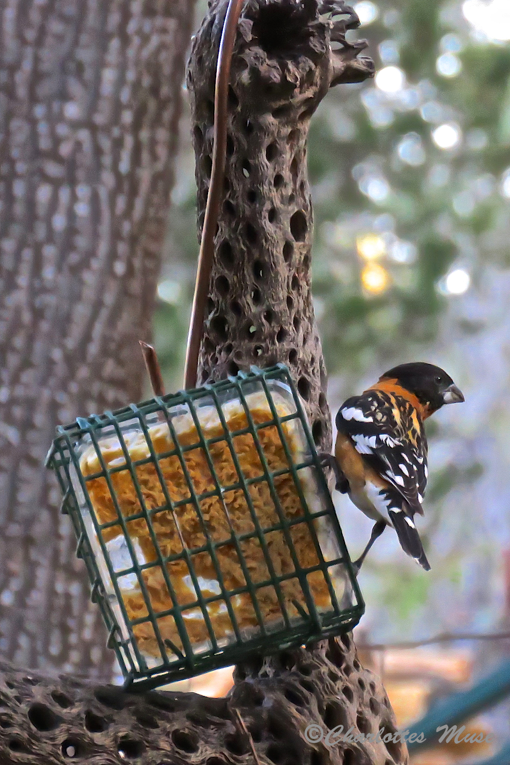 A Black-headed Grosbeak.
