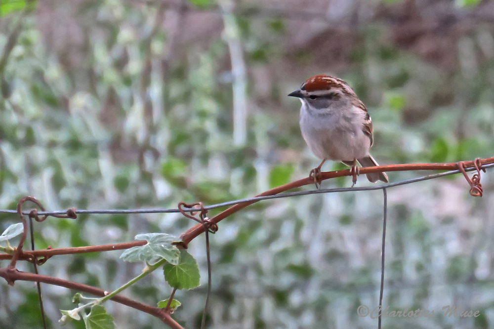 This is Chipping Sparrow.