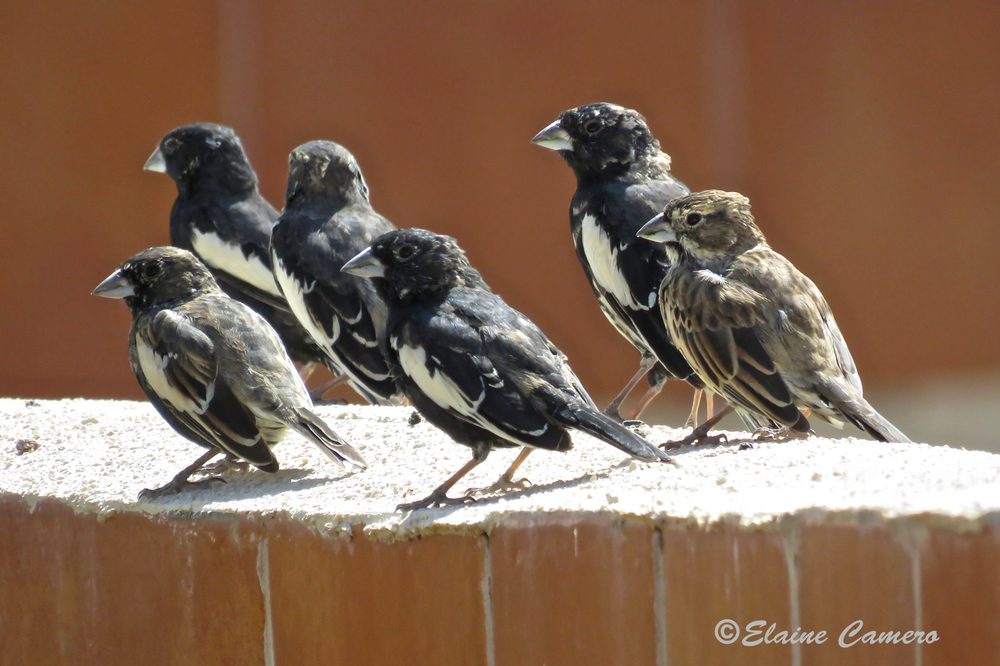 These are Lark Buntings.  There five males and one female.  They look like a street gang planning to rob the feeders!!!