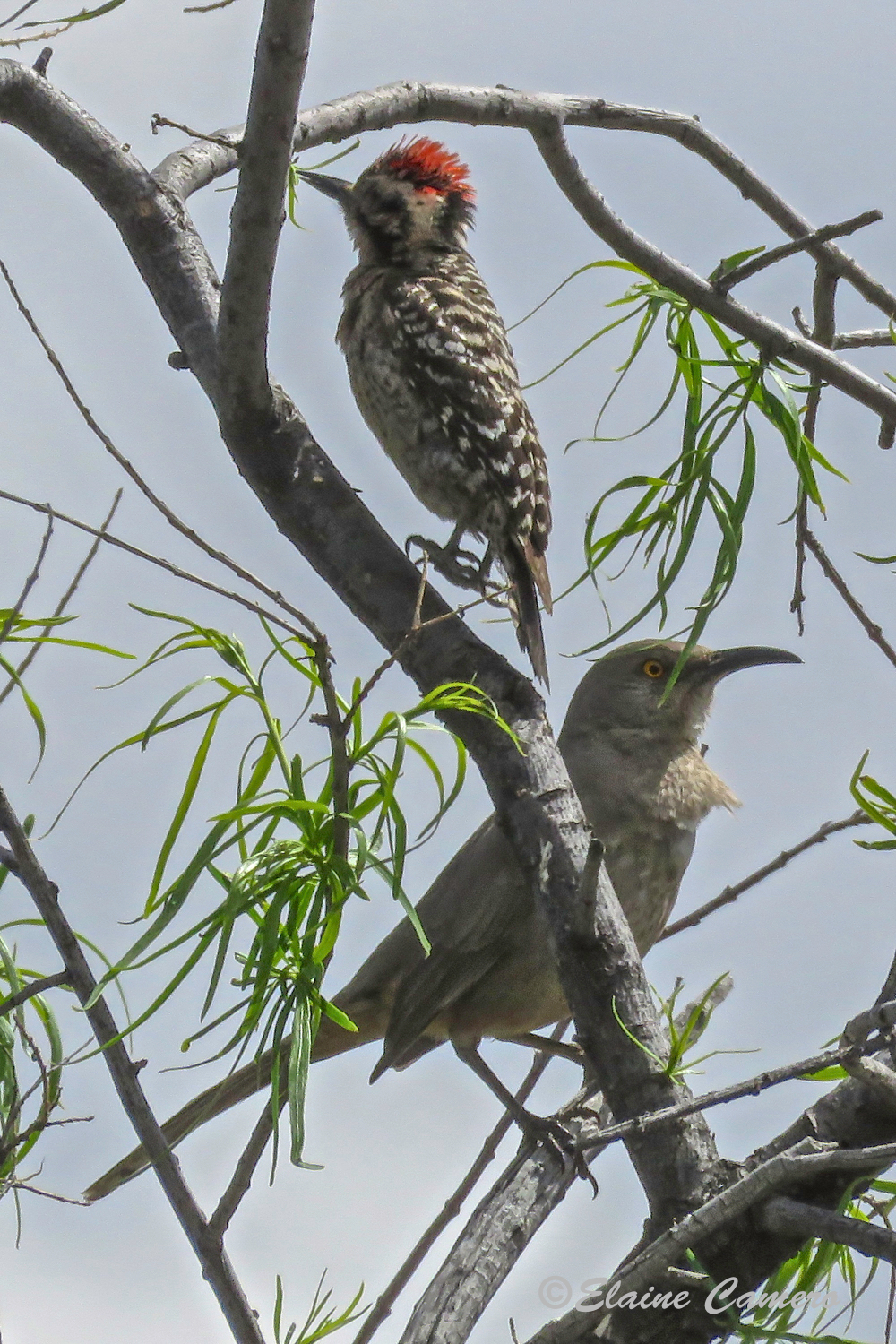 The top bird is a Ladderback Woodpecker and the lower one is a Crissal Thrasher.