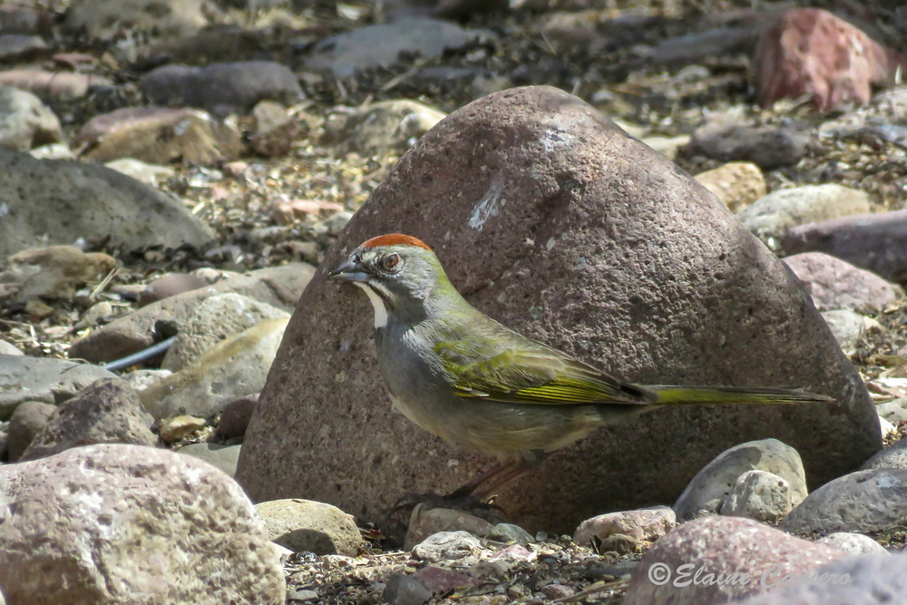 This is a Green-tailed Towhee.