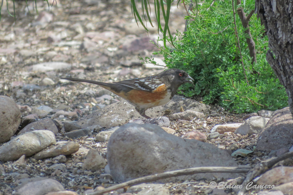 This is a Spotted Towhee.