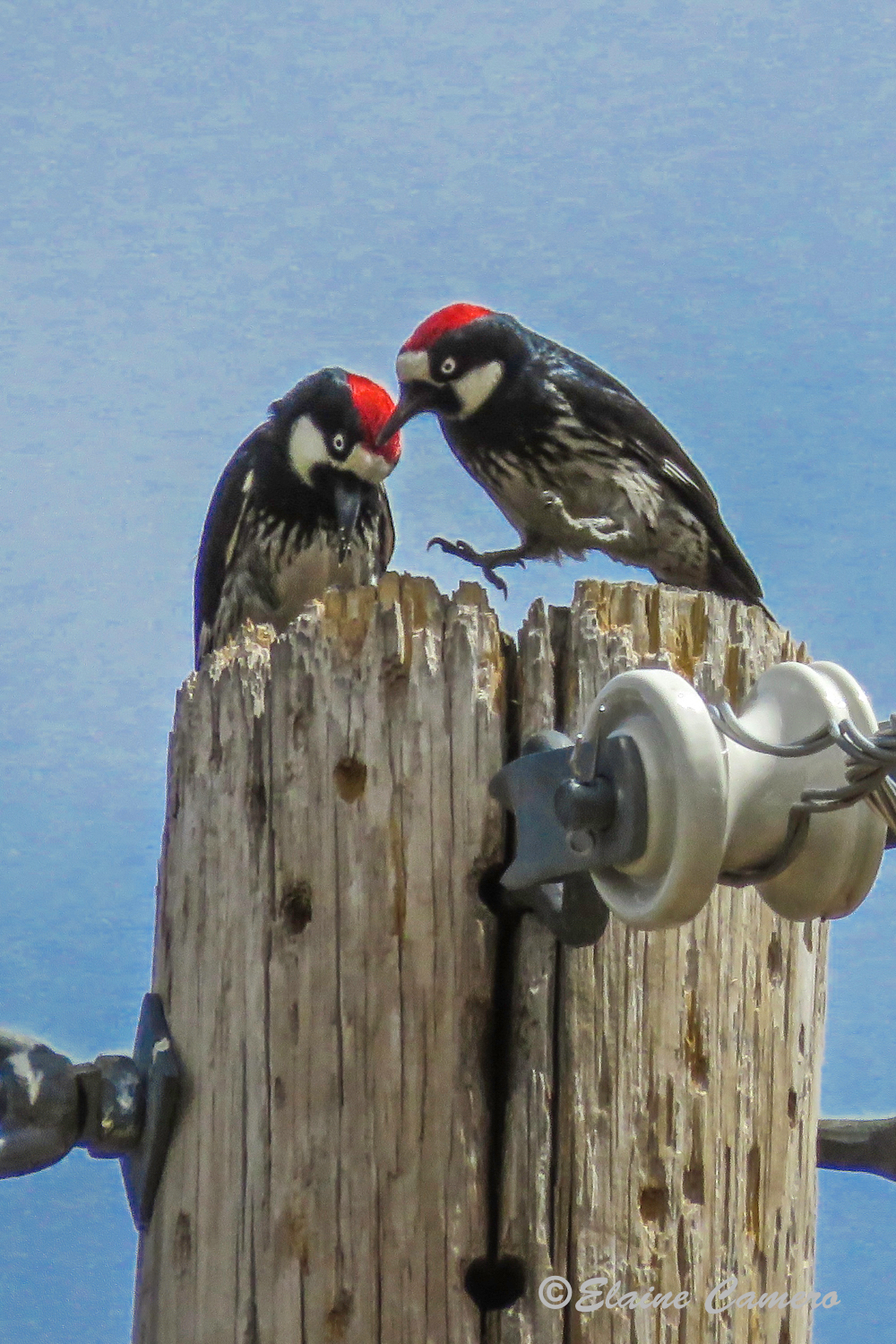 Two Acorn Woodpeckers.