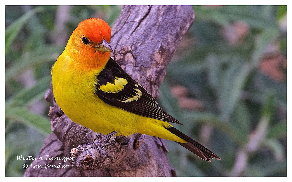 Western Tanager 211.jpg