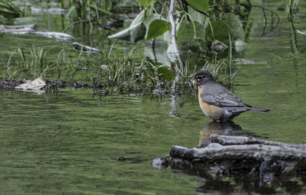Female North America Robin.