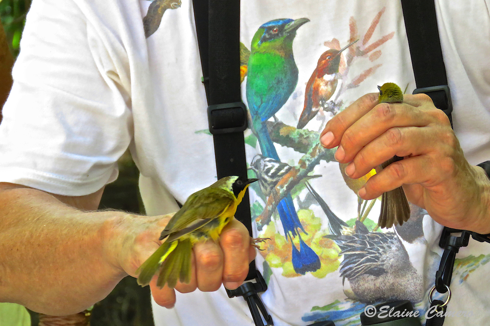 These are two ways the birds can be held to control them, but not hurt them.  Surely there is some stress to them, but the whole process is quick and gentle.
