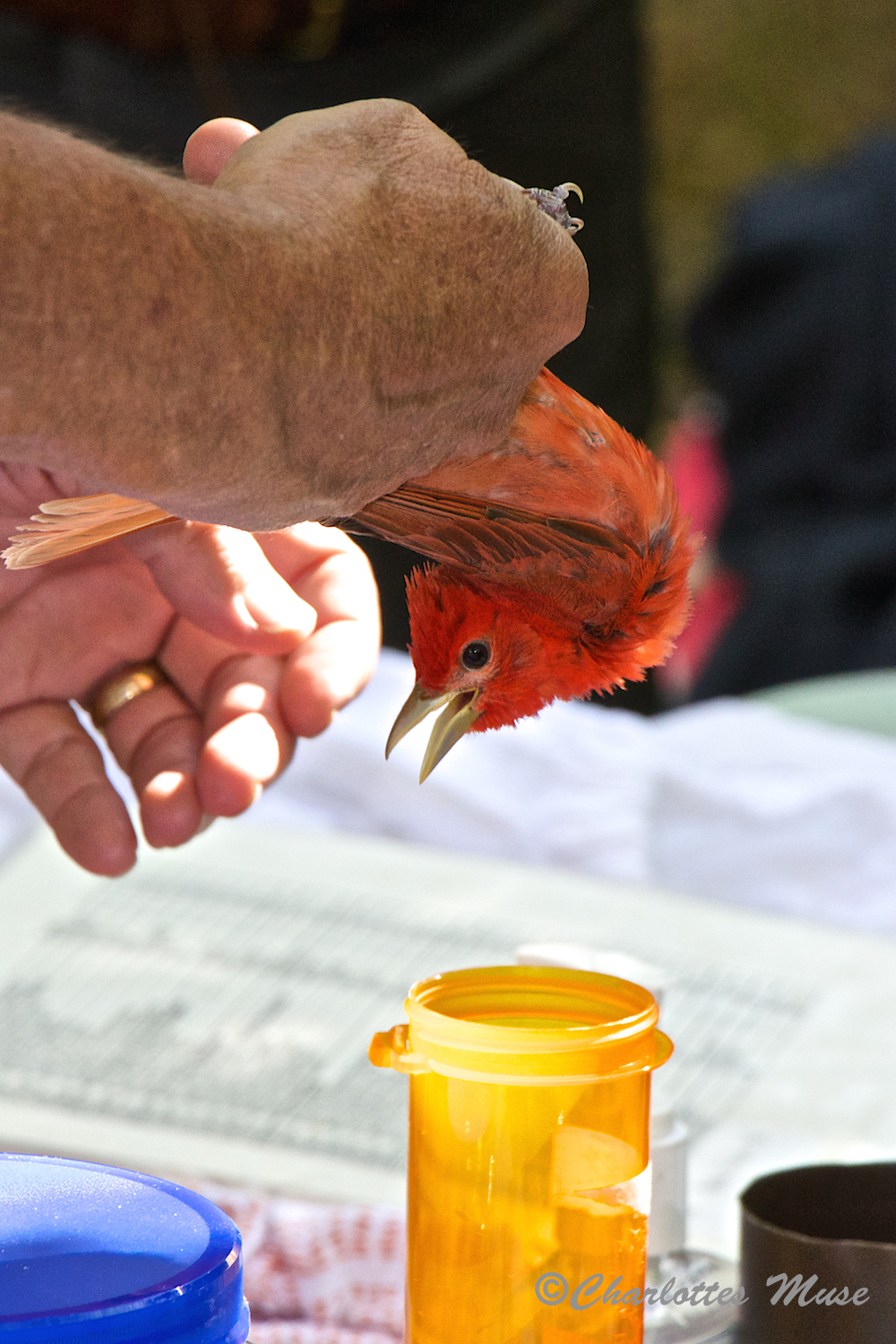 Birds are carefully placed, head down, into a small container and then weighed.