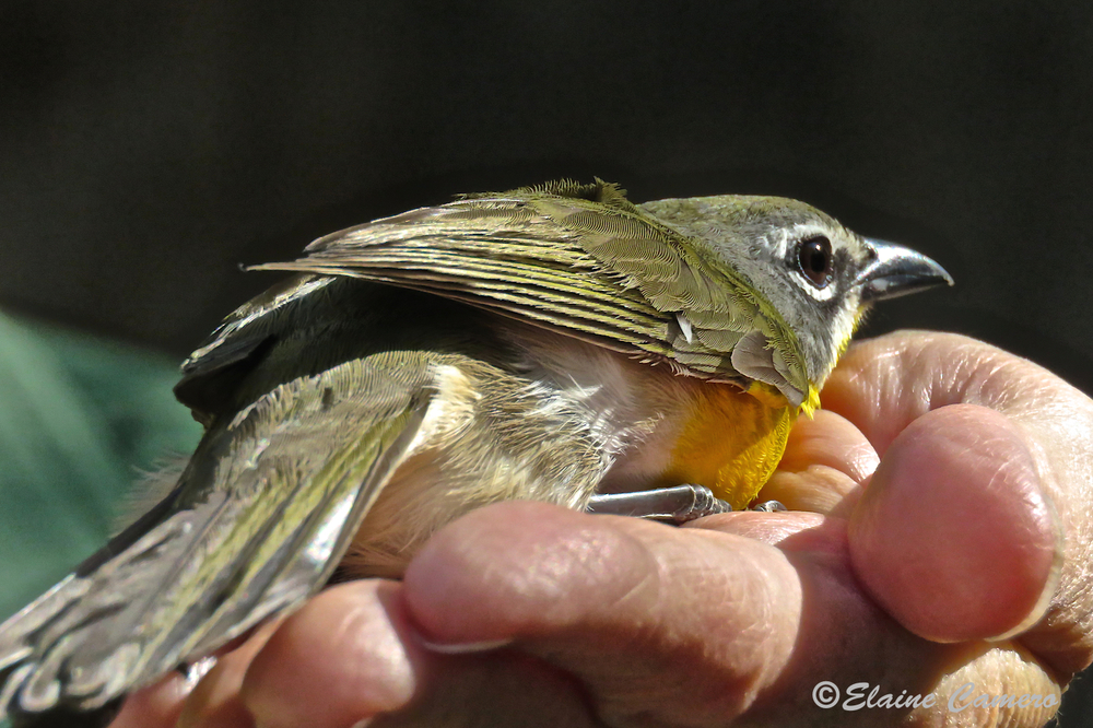 Some birds become quite calm following their evaluation and may spend several seconds in the palm of a hand.