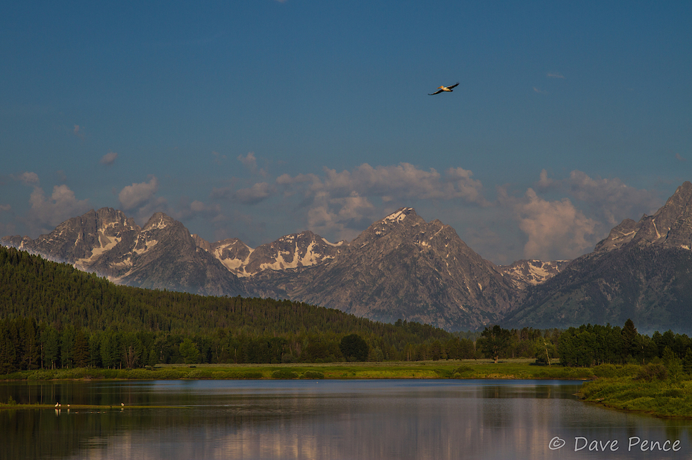 Dave wrote that these were pelicans!  In the Tetons?  Amazing.