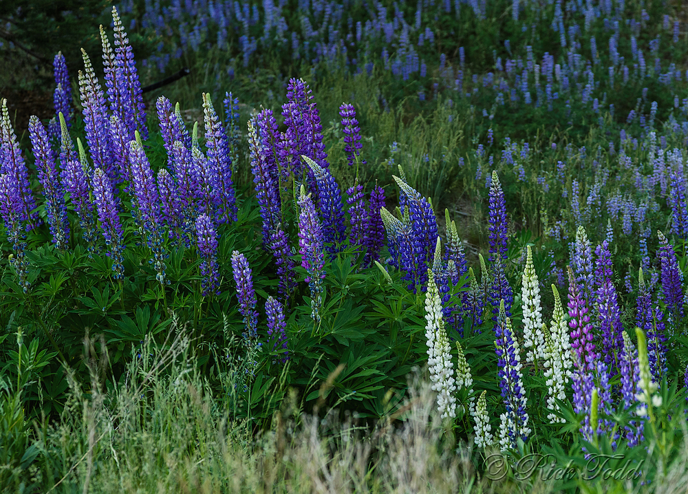 Lupines everywhere!