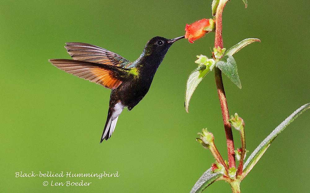 Black-bellied Hummingbird 301.jpg