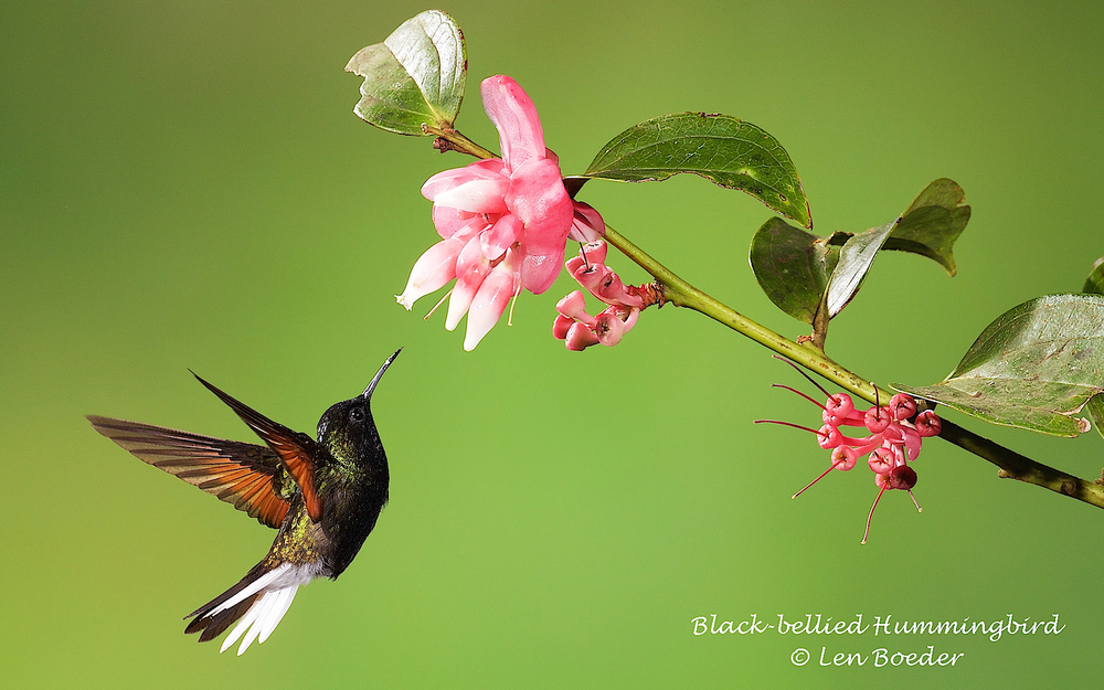 Black-bellied Hummingbird 331.jpg