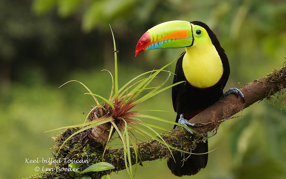 Ah, a day later but worth the wait.  We now have a second toucan!! I love toucans!!
