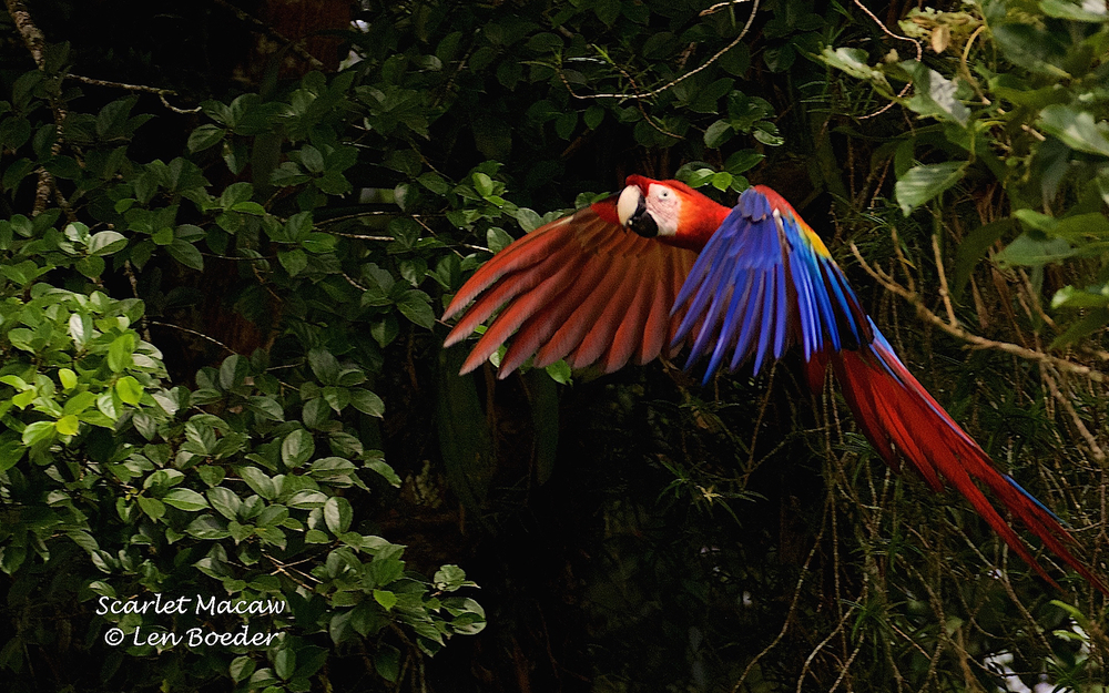 Scarlet Macaw 442.jpg