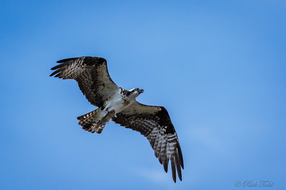 The fish is being carried parallel to the osprey's body.  I assume it is carried that way to minimize wind resistance.
