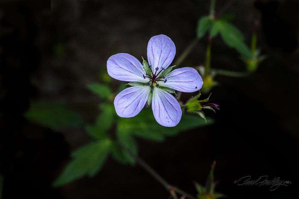 Mogollon Rim Flower 4.jpg