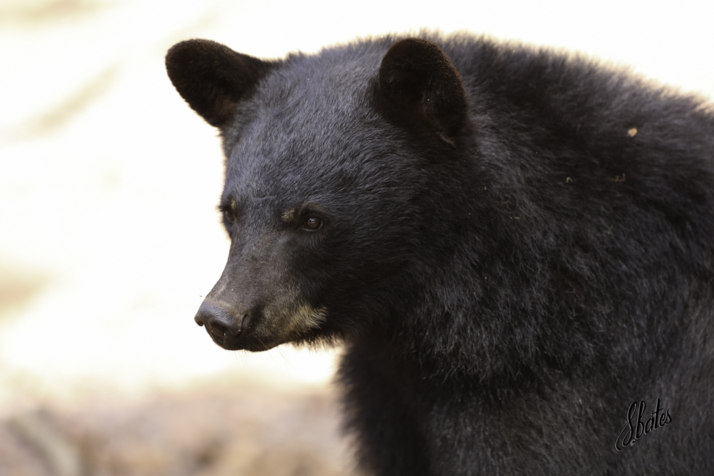 Did you know that black bears can be brown?