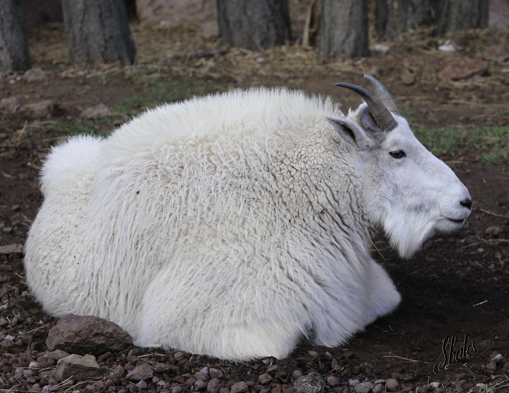 This is a mountain goat.