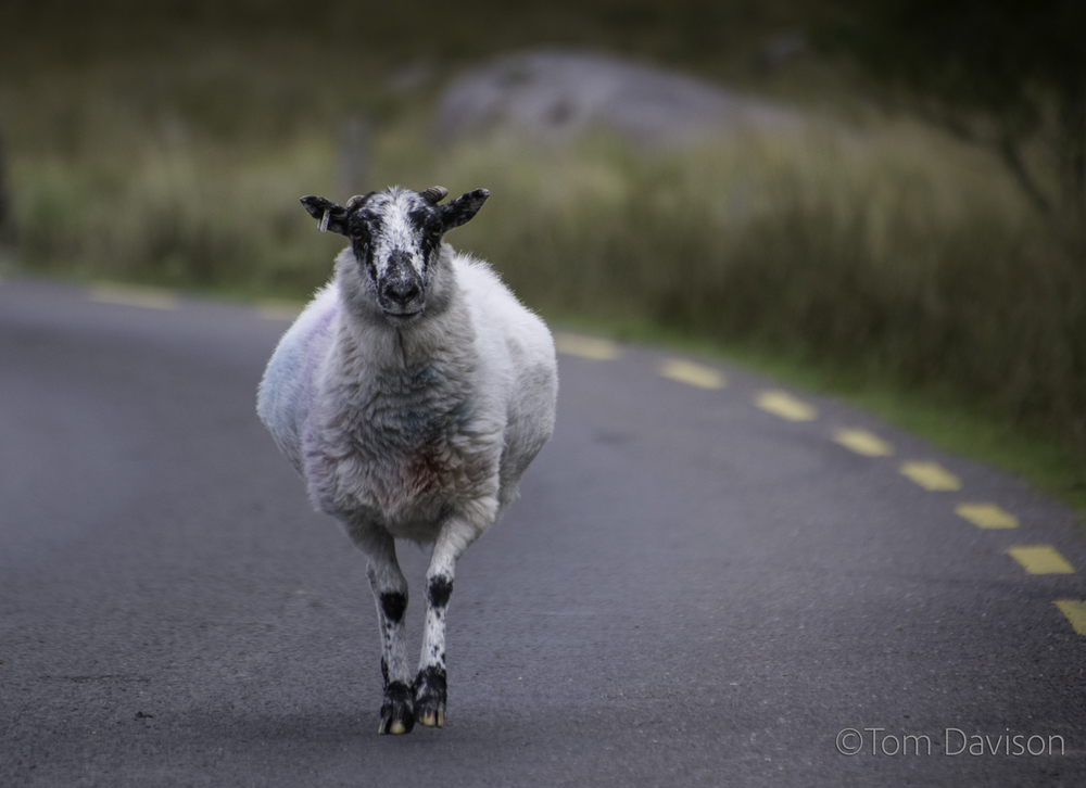 Sheep on the other hand, can have the whole road to themselves.  The dye you see is used to identify ownership.  Daragh had some fun telling us that it let people know how tame and docile the sheep were . . . or not.  Blues were supposed to be docile and reds were supposed to be very aggressive.  This is one confused sheep, prancing as he walked towards us.