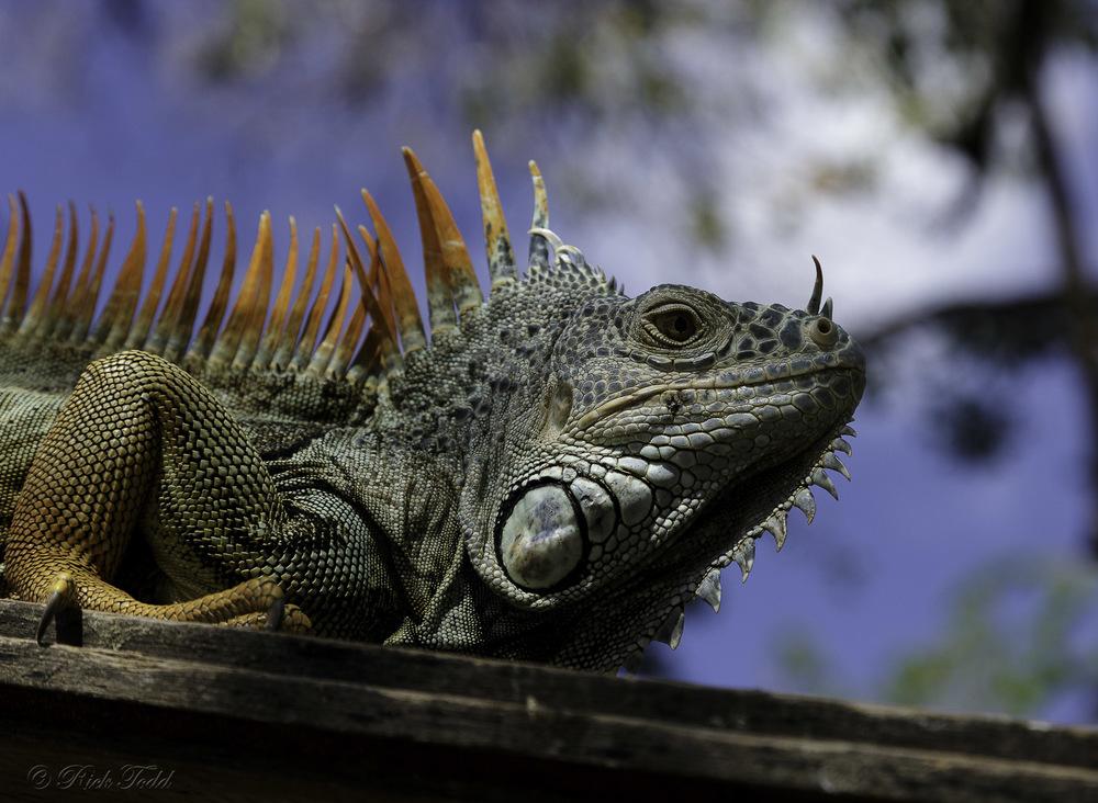 Gorgeous iguana!