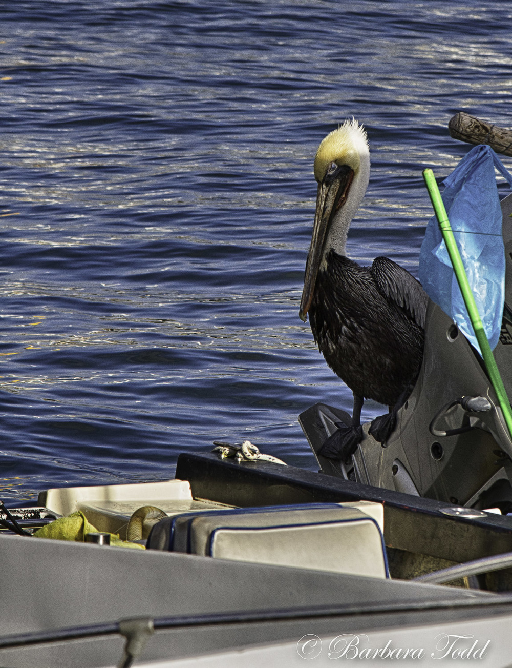 A Cabo pelican. Looks rather sad.
