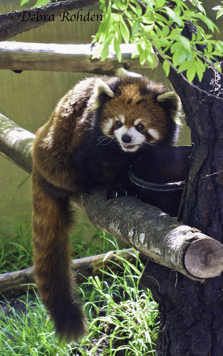 A Red Panda!  Did not know such an animal existed.