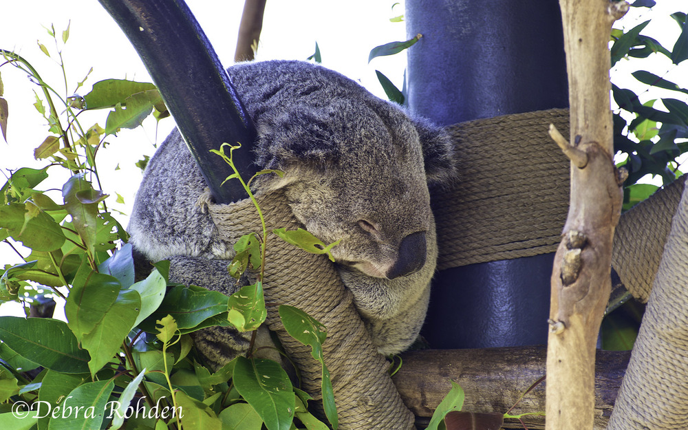 A sleeping Koala bear.