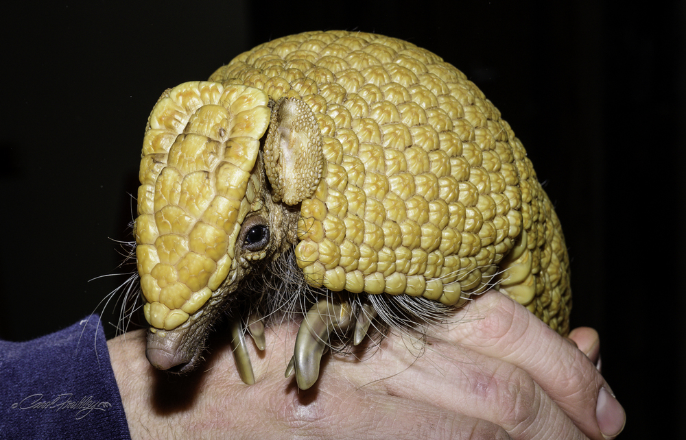 A South American armadillo. Much smaller than its American counterpart.