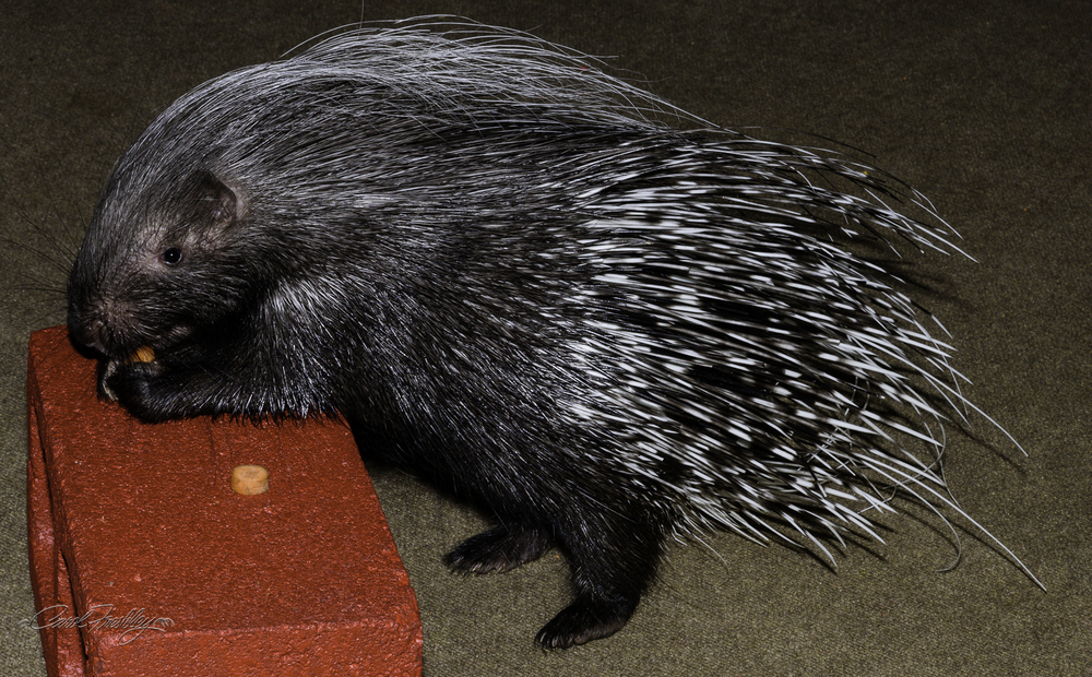 This is an African porcupine that is being trained to perform.  She is six months old and is already doing very well.  Her treats are carrots and apples.  Much like the raptor flight, such activities allow animals to show off and the kids love getting up close.