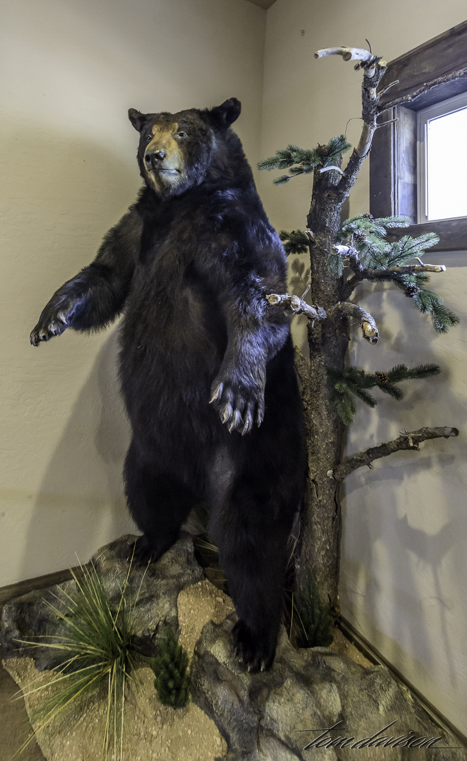 If you are a favorite bear and you die at Bearizona you get to come back and be on display in the gift shop!