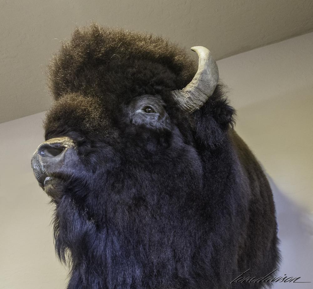 Same for buffalo.