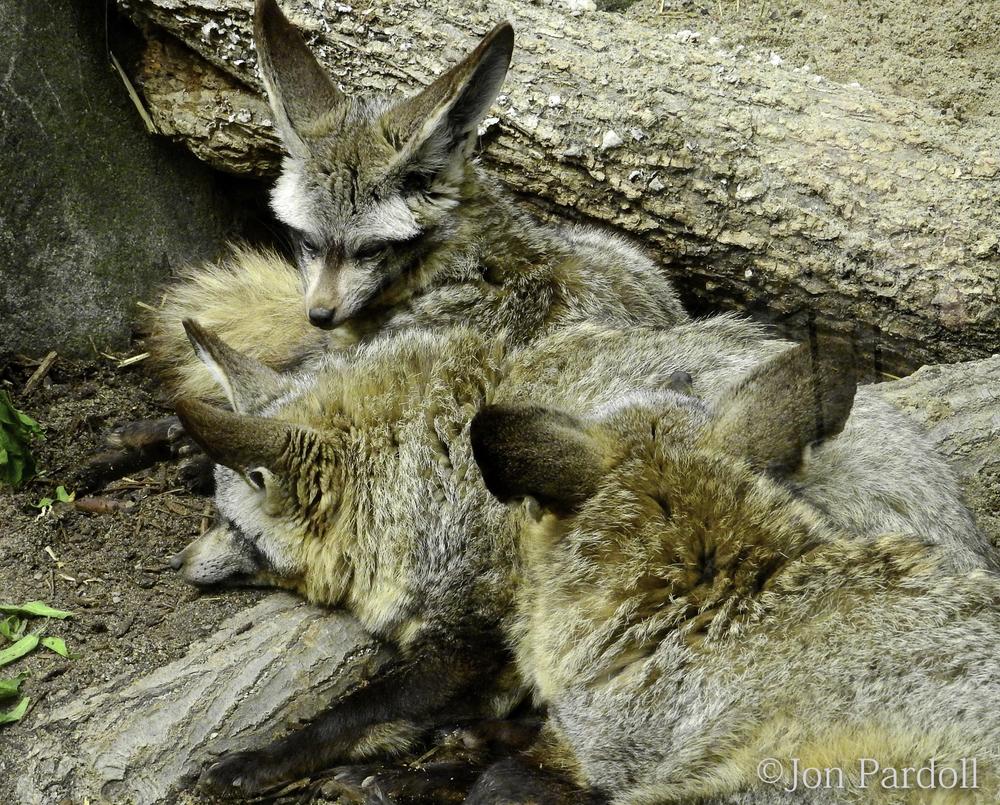 Bat eared fox cubs